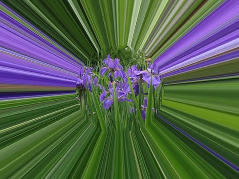 Iris Rays