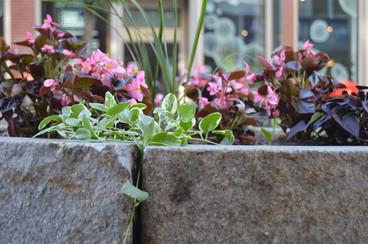 Cobblestone Begonias