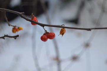 Red Yellow Berry Snow