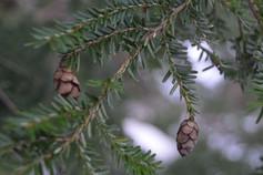 December Pine Cones