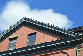 Pigeons Rooftop
