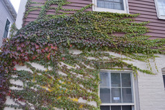 Ivy Clapboards