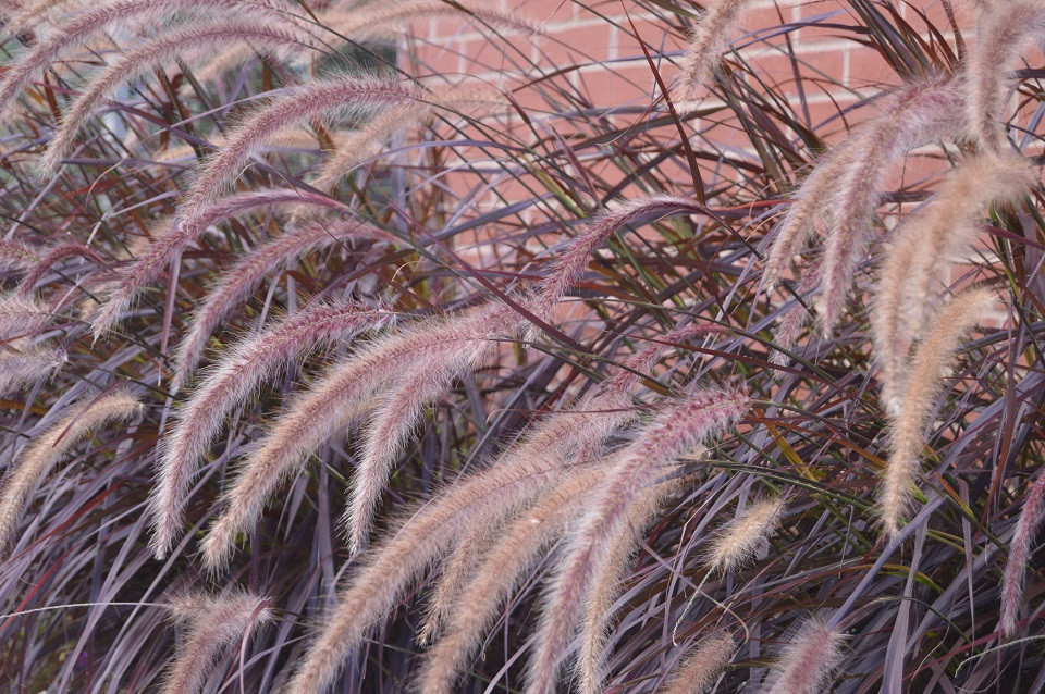 Purple Grass