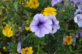 Petunia Marigold