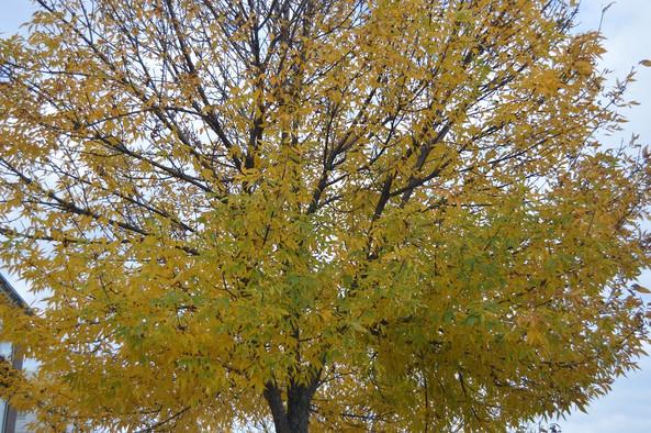 Early Autumn Yellow