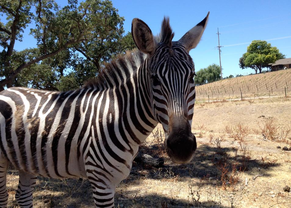 Our Zebra