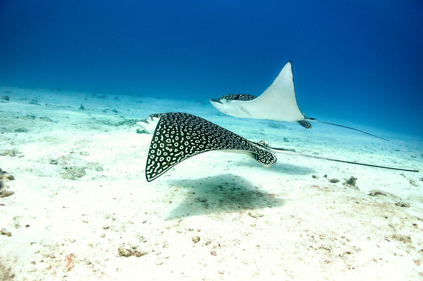 Two spotted eagle rays in Cozumel, Mexic