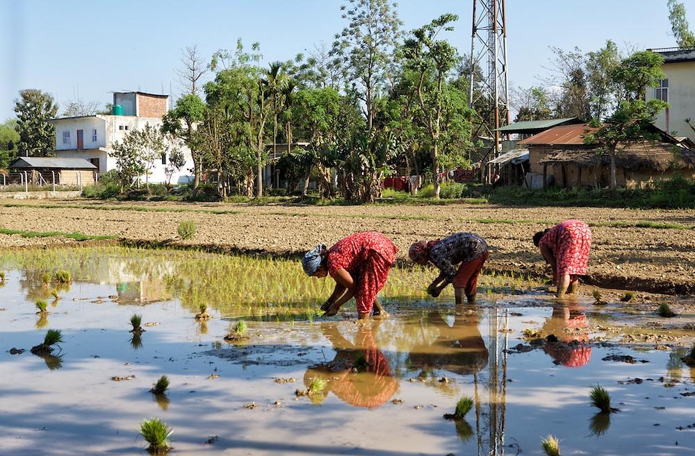 Three Nepali working in paddy