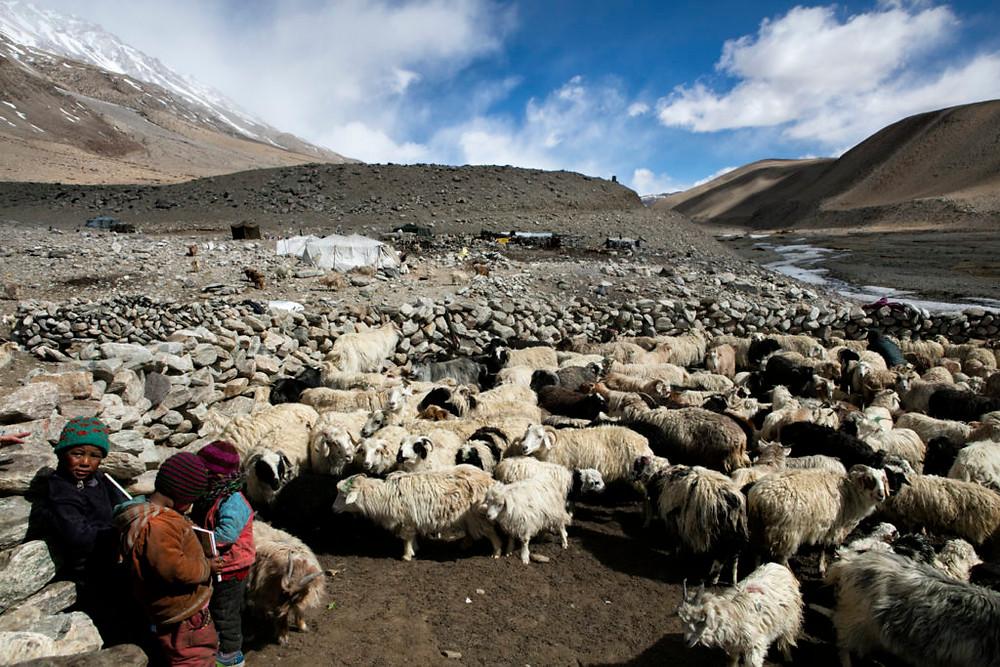 Changpa goats