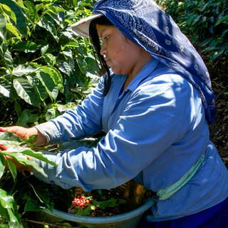 Zousmer Coffee Field 14