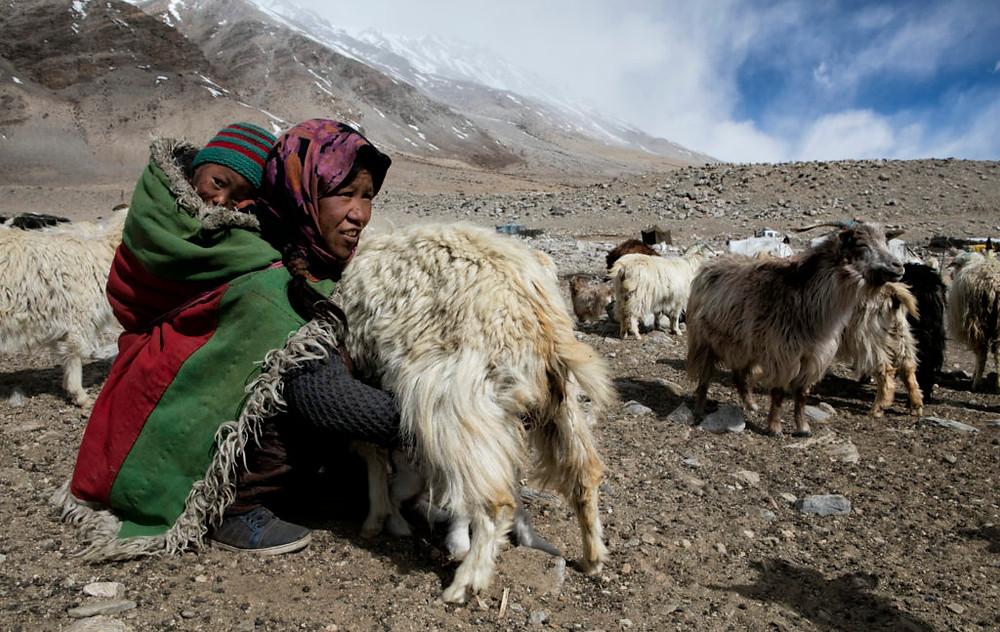Changpa woman milking goat