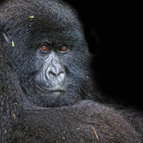 Zousmer Rwanda Gorillas 1
