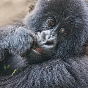 Zousmer Rwanda Gorillas 7