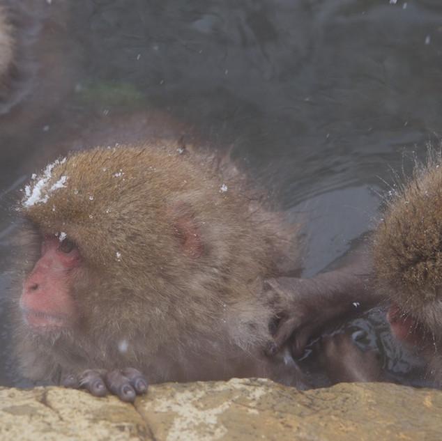 Zousmer Snow Monkeys 11