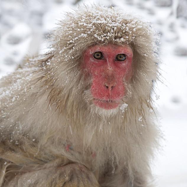 Zousmer Snow Monkeys 1