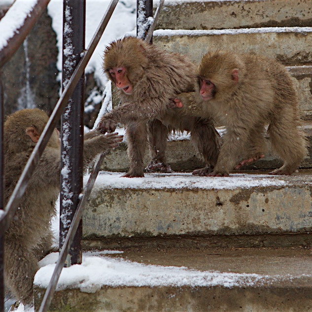 Zousmer Snow Monkeys 31