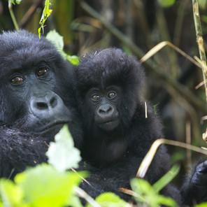 Zousmer Rwanda Gorillas 3