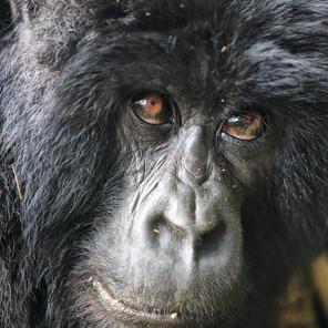 Zousmer Rwanda Gorillas 4