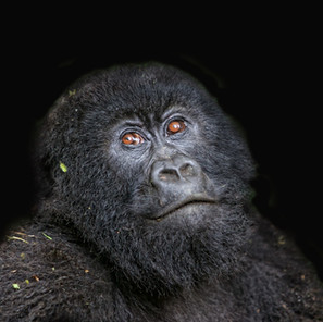 Zousmer Rwanda Gorillas 2