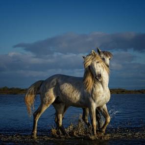 Zousmer Horses of Camargue 22