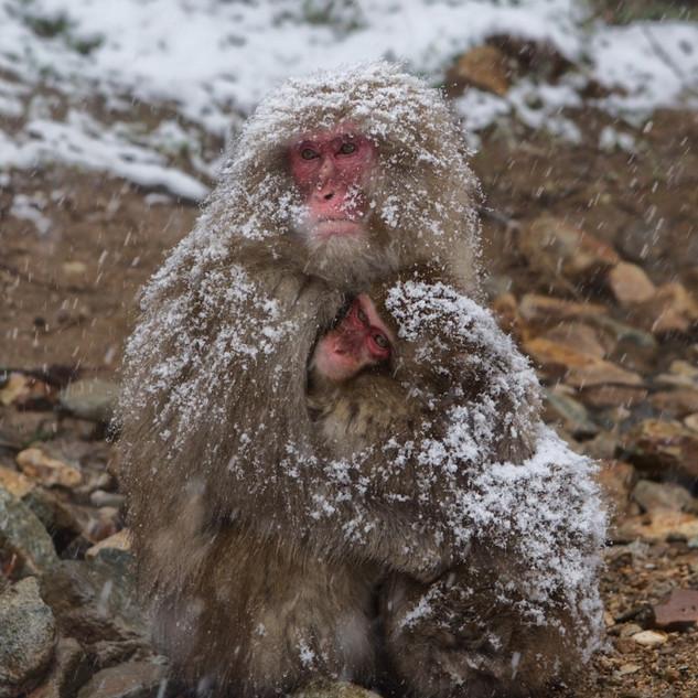 Zousmer Snow Monkeys 24