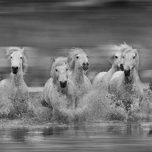 Zousmer Horses of Camargue 17