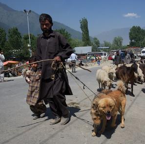 Zousmer Kashmir 41