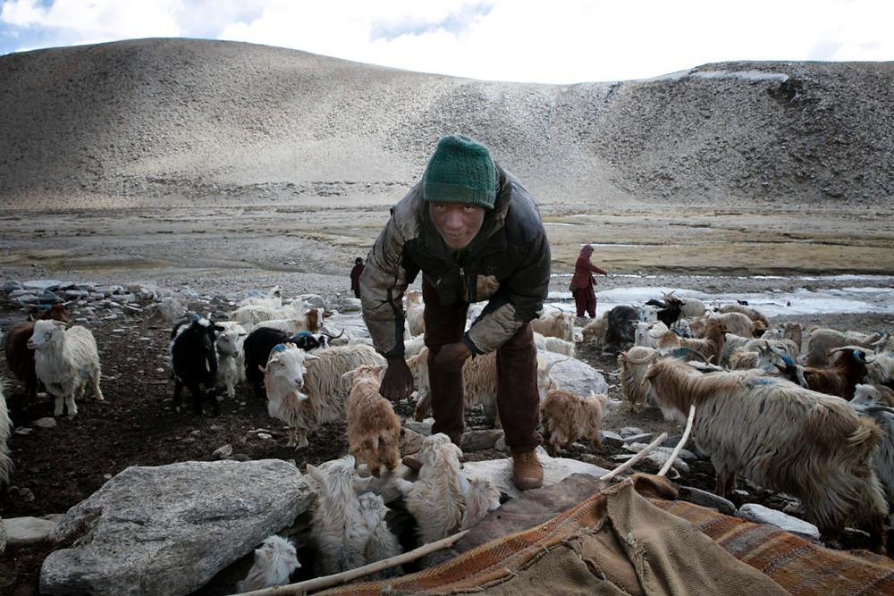 Changpa with goats
