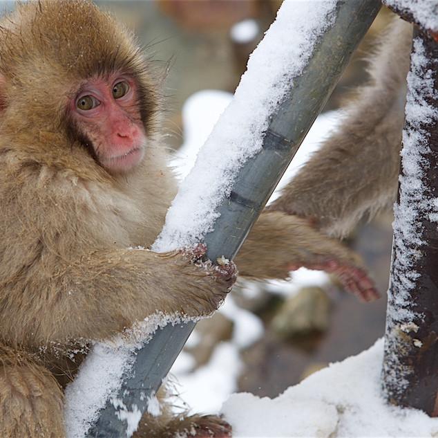 Zousmer Snow Monkeys 32