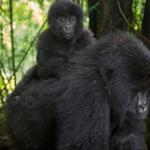Zousmer Rwanda Gorillas 9