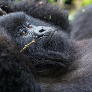 Zousmer Rwanda Gorillas 5
