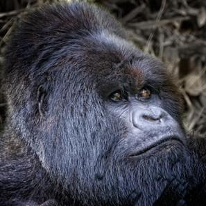 Zousmer Rwanda Gorillas 8