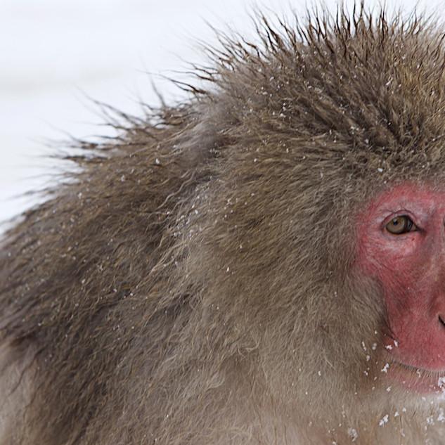 Zousmer Snow Monkeys 16
