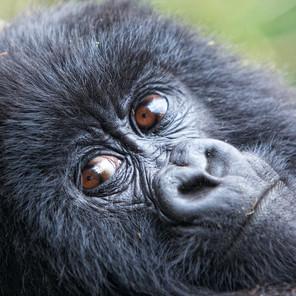 Zousmer Rwanda Gorillas 6
