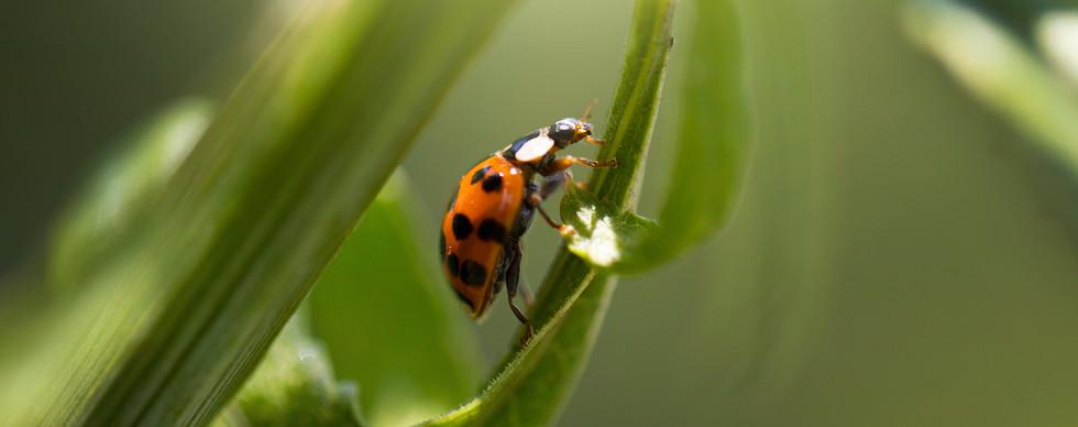 Catarina (Coccinellidae)