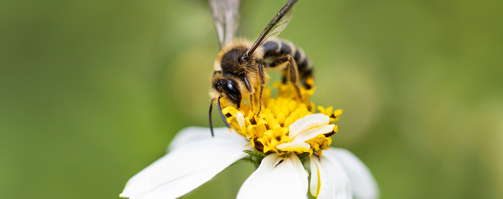 Abeja minera patas amarillas (Andrena flavipes)