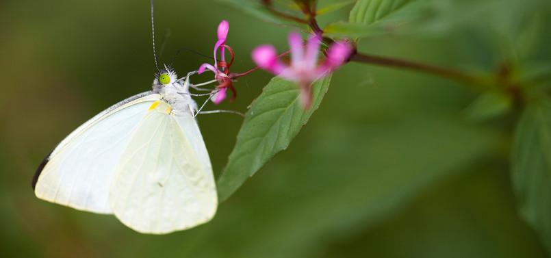 Mariposa blanca de la col (Pieris brassicae)