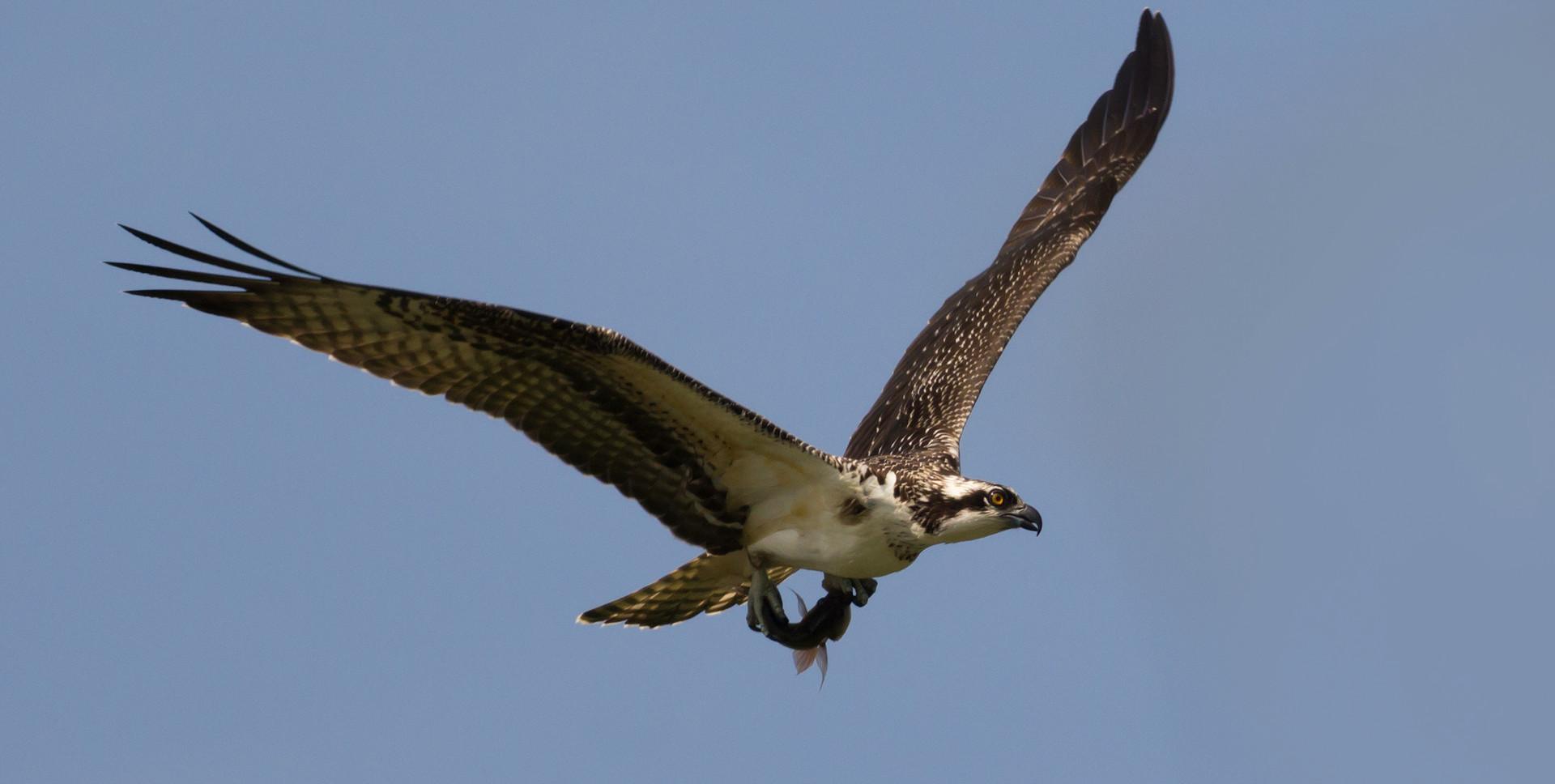 Águila pescadora (Pandion haliaetus) 2