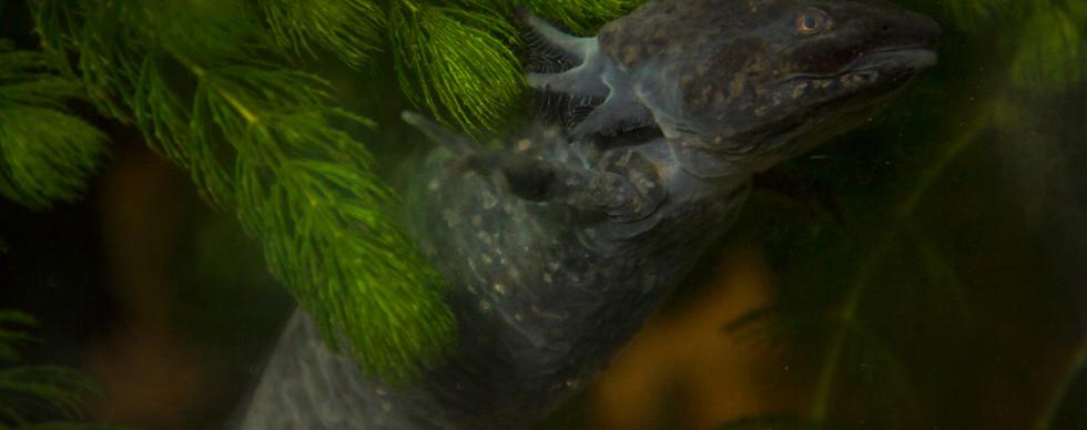 Ajolote de Xochimilco (Ambystoma mexicanum)