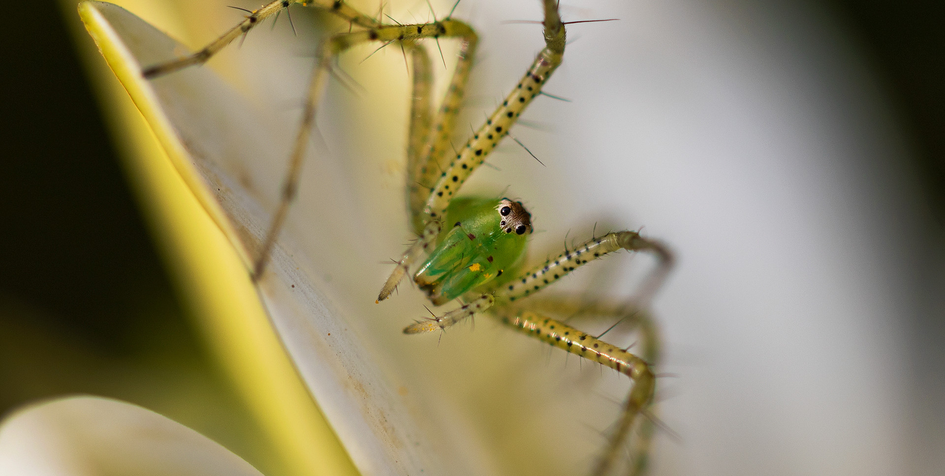 Araña lince verde (Peucetia viridans)