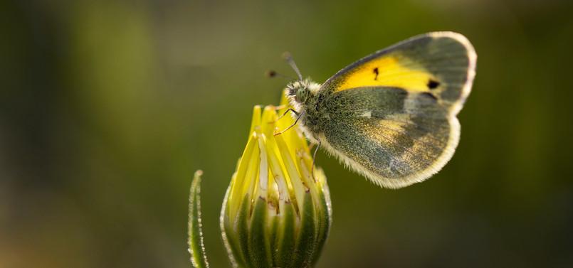 Mariposa azufre natalia (Nathalis iole)