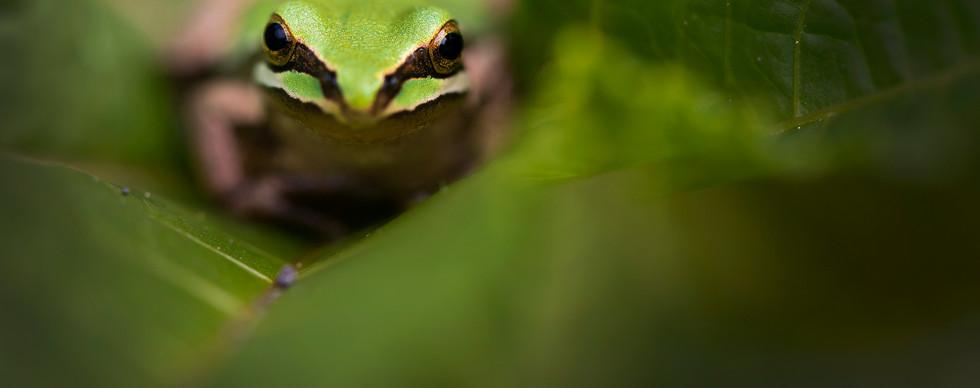 Rana arborícola de montaña (Hyla plicata)