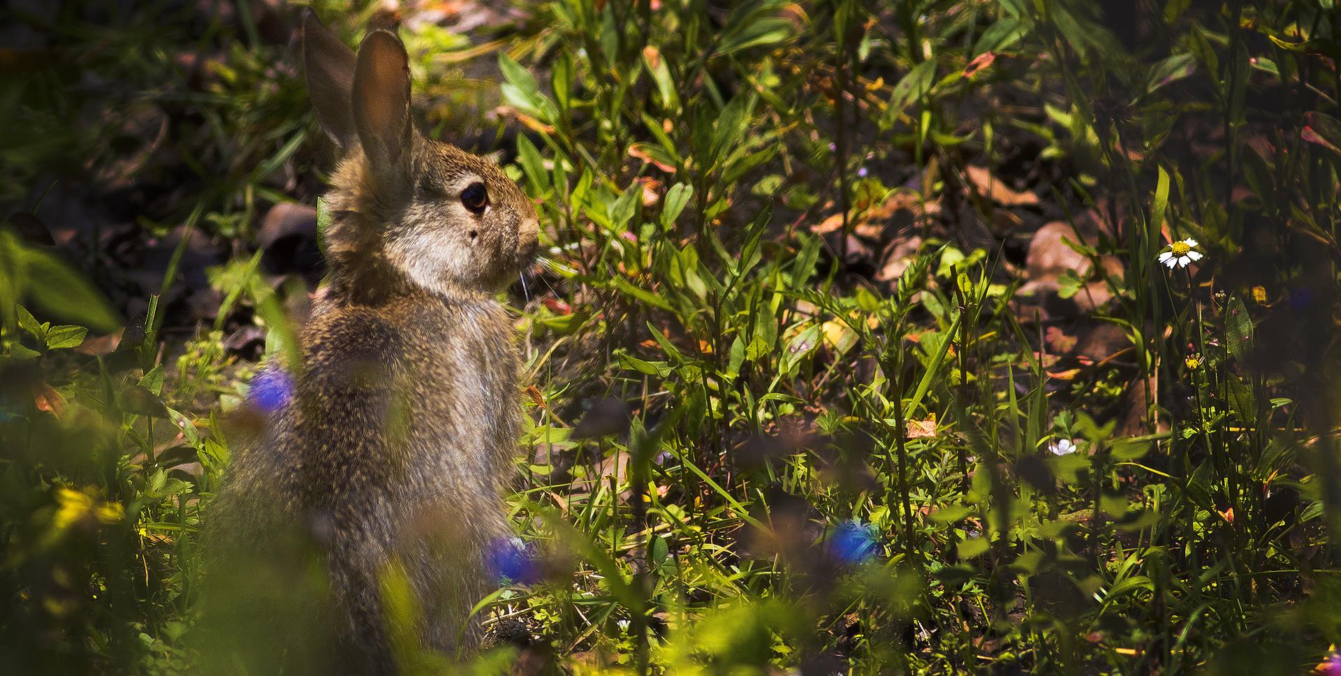 Conejo castellano (Sylvilagus floridanus)
