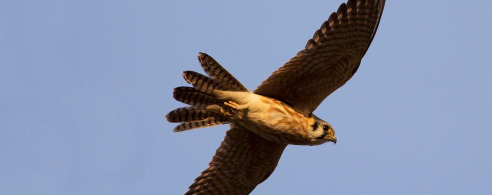 Cernícalo americano hembra (Falco sparverius)