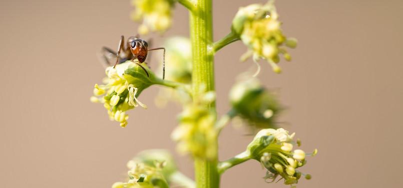 Hormiga (no identificada)