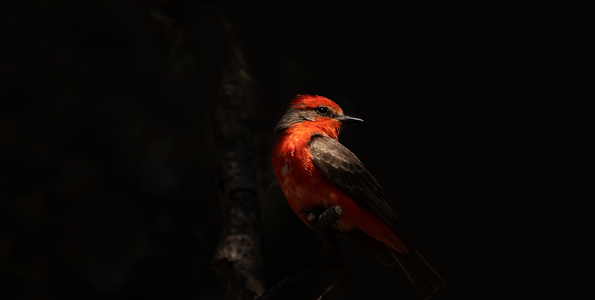 Mosquero cardenal macho (Pyrocephalus rubinus)