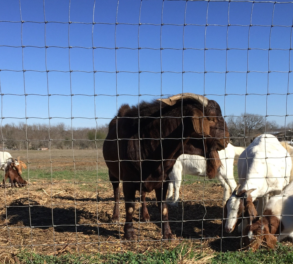 Considerations Before Getting Goats, Goat Fence