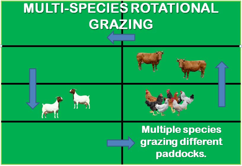 multi-species rotational grazing