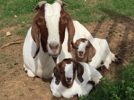 11 Reasons to Raise Goats on Your Small Farm