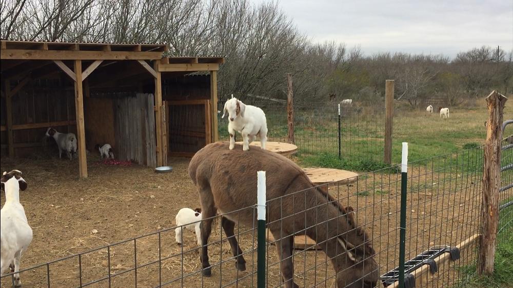 Goat jumps on donkey.
